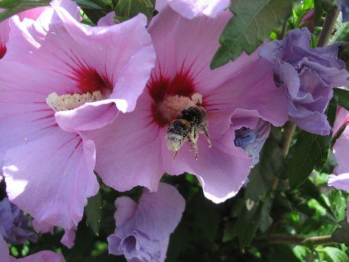 Bourdon sur hibiscus en zone IAU