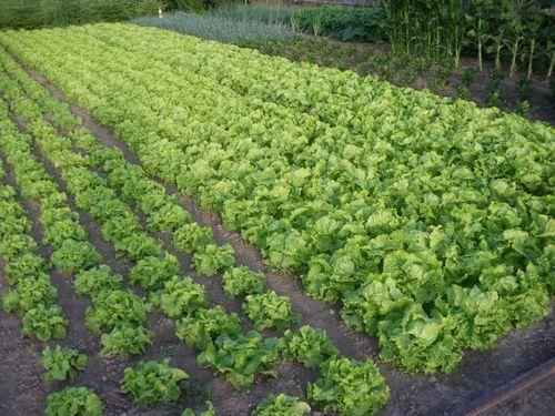 Culture de légumes à Eckbolsheim en zone IAU