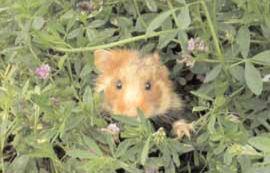 Hamster dans un champs de luzerne