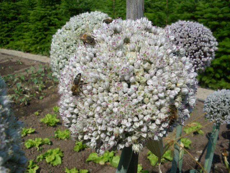 Fleurs poireaux